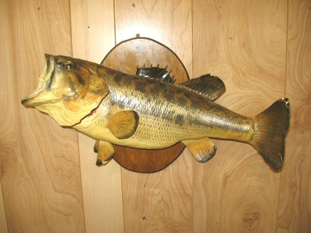 Large old bass fish wall mount for sale for Bass fish for sale