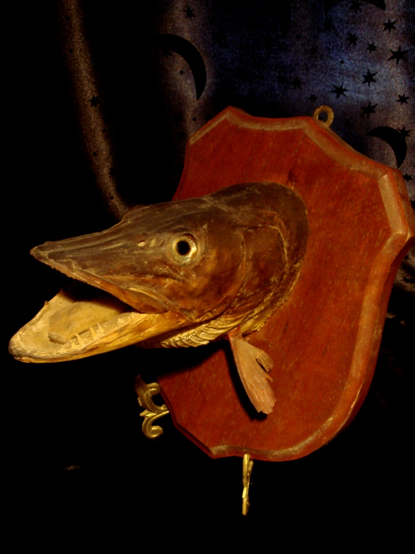 Bizarre old taxidermy fish head sku 1105 for sale for Fish taxidermy prices